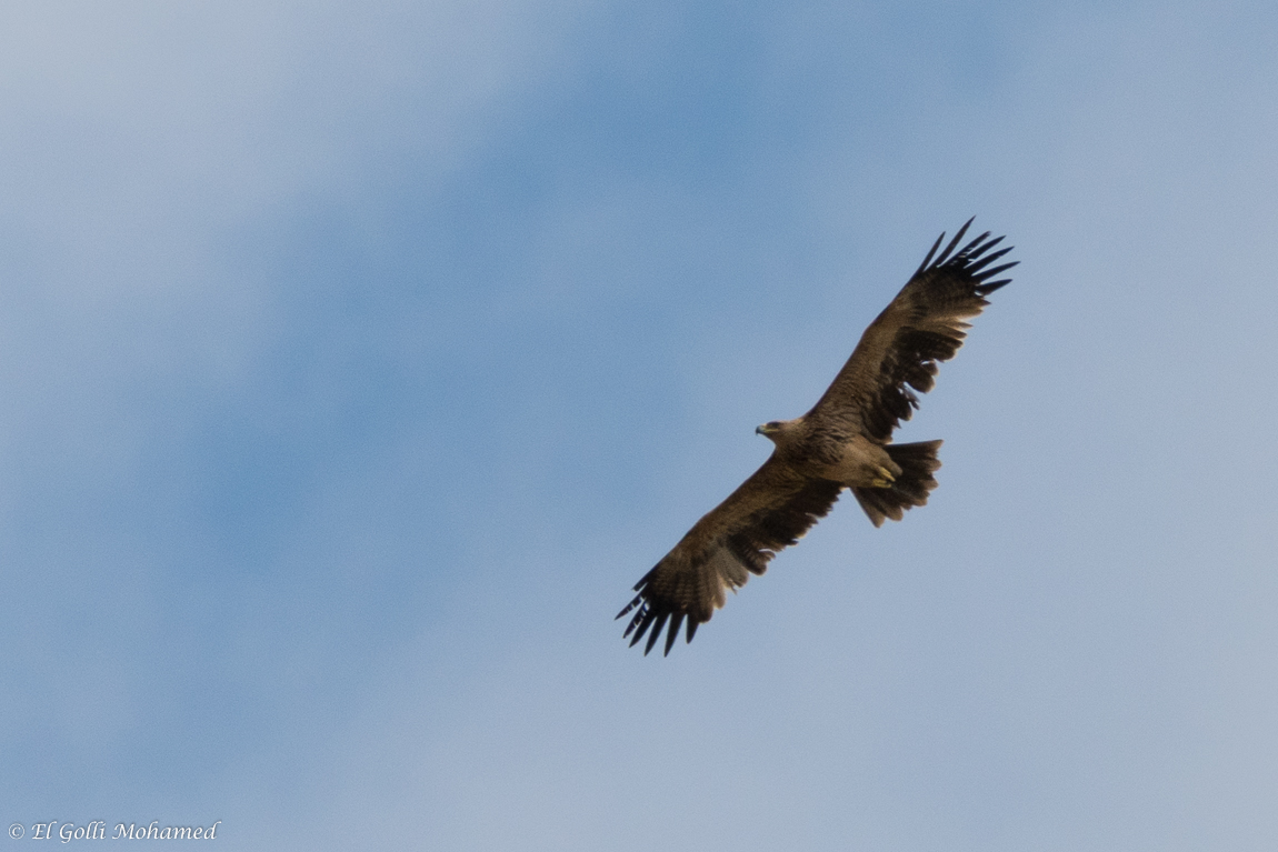 Eastern Imperial Eagle / Aigle impérial (Aquila heliaca), El Haouaria, northern Tunisia, 29 April 2017 (Mohamed El Golli).