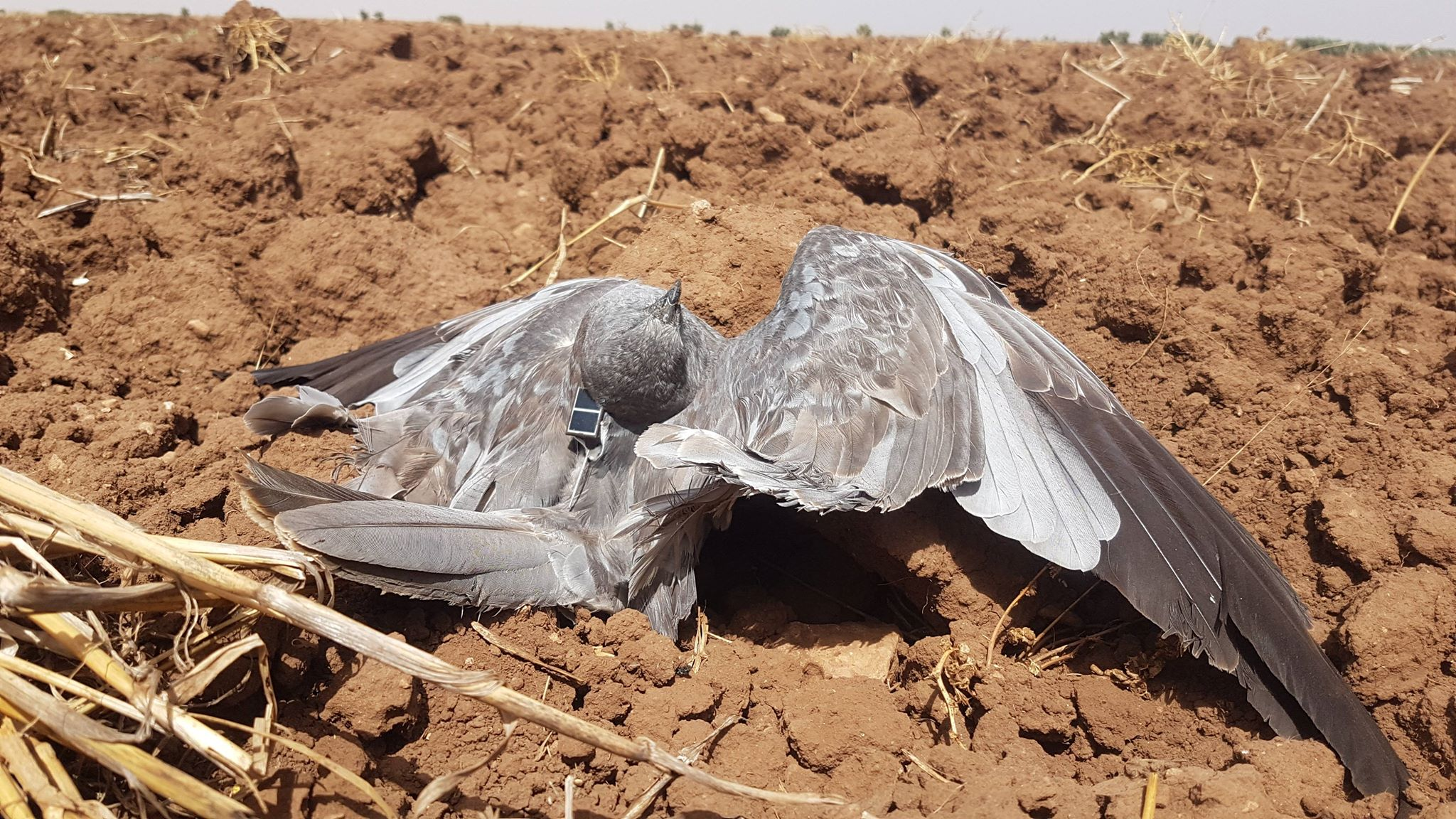 Montagu's Harrier (Circus pygargus) satellite-tracked from France found dead in Morocco, probably shot by poachers, 26 Aug. 2018 (Karim Rousselon).