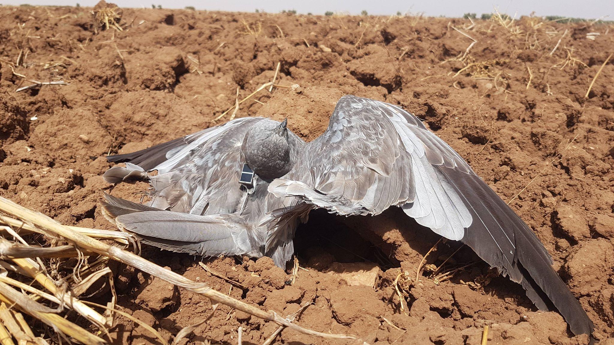 Busard cendré (Circus pygargus) suivi par balise GPS de la France retrouvé mort au Maroc, probablement abattu par des braconniers, 26 août 2018 (Karim Rousselon).