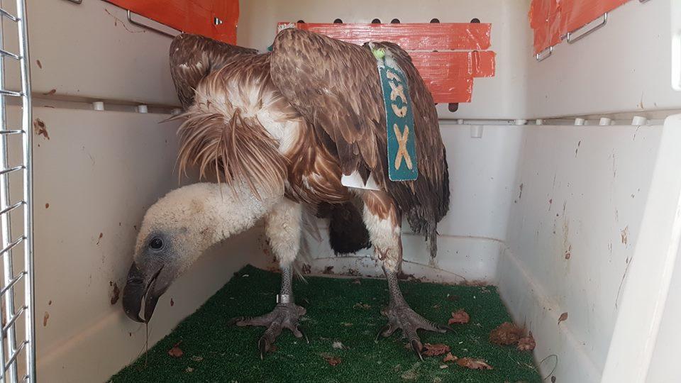 Griffon Vulture / Vautour fauve (Gyps fulvus), Jbel Moussa region, 17 Aug. 2018 (Karim Rousselon).