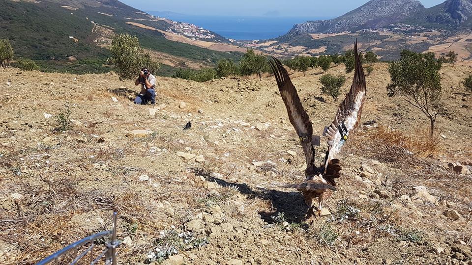 Griffon Vulture / Vautour fauve (Gyps fulvus), Jbel Moussa region, 17 Aug. 2018 (Rachid El Khamlichi).