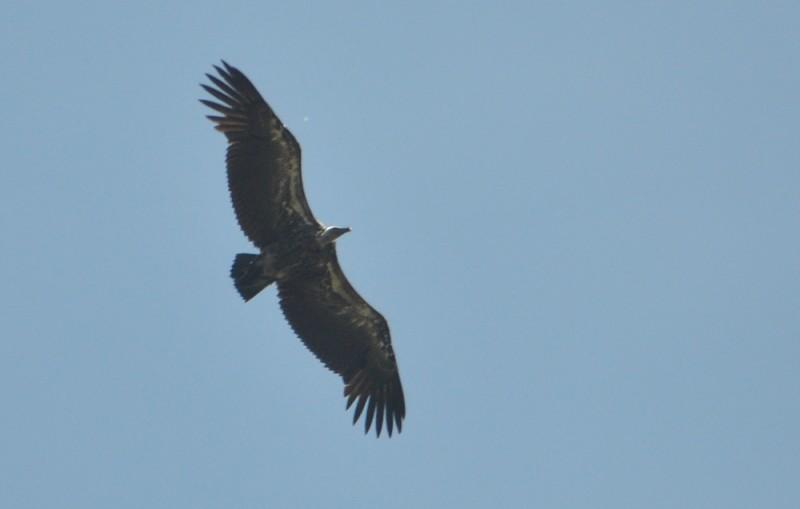 Rüppell's Vulture (Gyps rueppelli), east of Tanger-Med Port, Strait of Gibraltar, Morocco, 2 May 2018 (R. El Khamlichi).