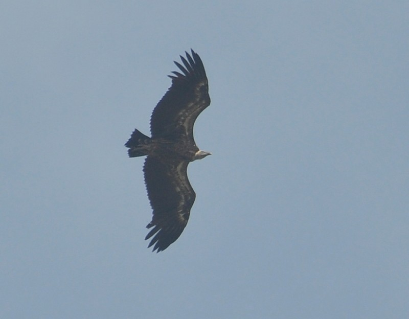 Rüppell's Vulture (Gyps rueppelli), east of Tanger-Med Port, Strait of Gibraltar, Morocco, 21 May 2018 (R. El Khamlichi).