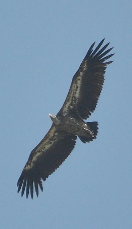 Rüppell's Vulture (Gyps rueppelli), east of Tanger-Med Port, Strait of Gibraltar, Morocco, 22 May 2018 (R. El Khamlichi).