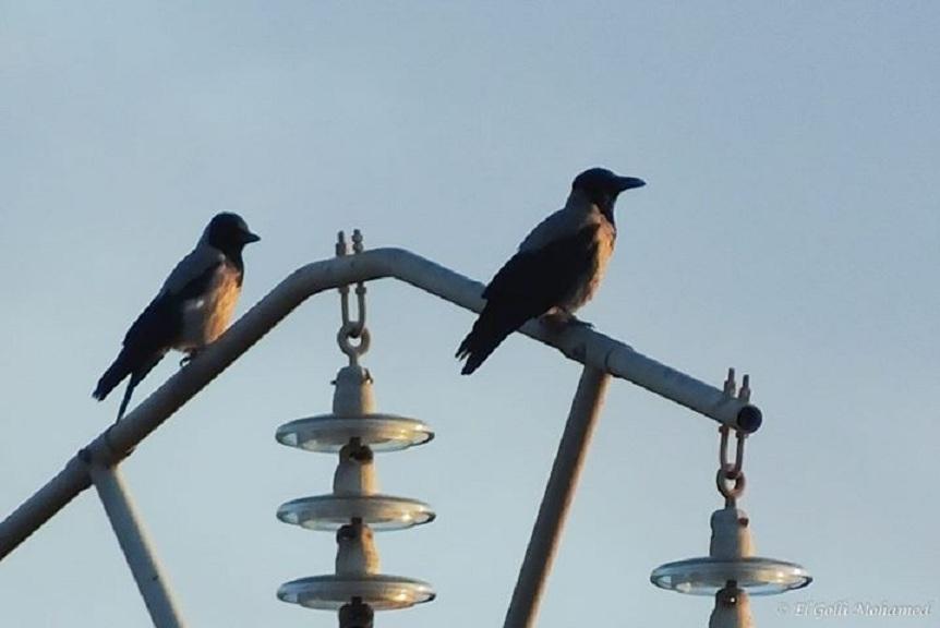 Hooded Crows / Corneilles mantelées (Corvus cornix), Ichkeul National Park, Tunisia, 28 Dec. 2013 (Mohamed El Golli).
