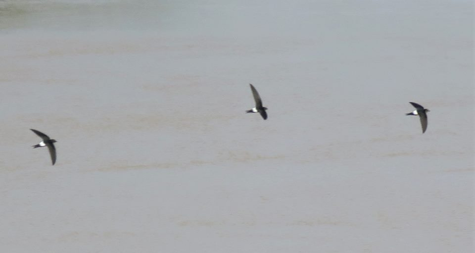 Horus Swifts / Martinets horus (Apus horus), Doué river, northern Senegal, 5 Oct. 2018 (Bram Piot).
