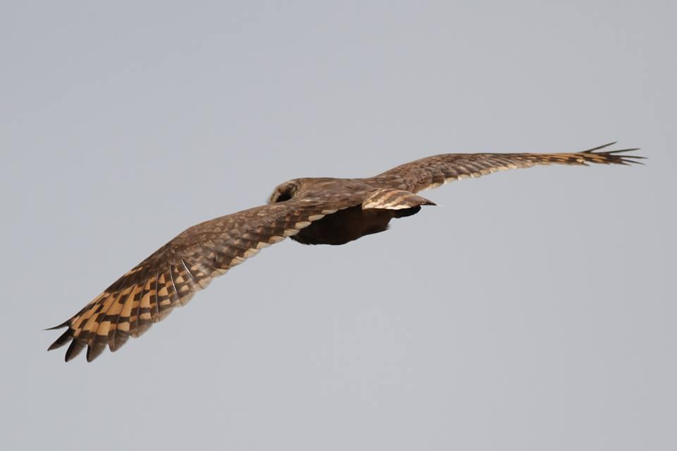 Marsh Owl / Hibou du Cap (Asio capensis), Sidi Moussa-Oualidia wetland complex, 2 Oct. 2014 (Benoît Maire).