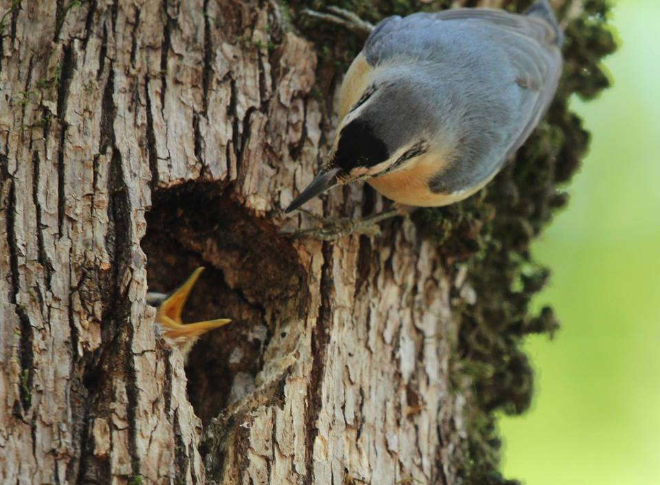 Algerian Nuthatch / Sittelle Kabyle (Sitta ledanti), an adult feeding a young at the nest, Ghabet Ezzen, Wilaya of Jijel, Algeria, May 2018 (Riadh Moulaï).