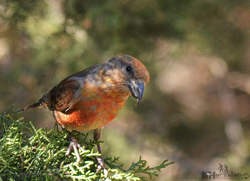 Atlas Crossbill / Bec-croisé du Maghreb (Loxia curvirostra poliogyna), north-east Algeria (Mourad Harzallah‎).