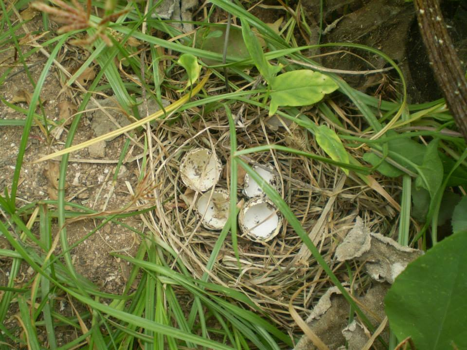 Nest and eggs of the Andalusian Buttonquail, Doukkala region, Morocco, June 2014 (Mohamed Amezian).