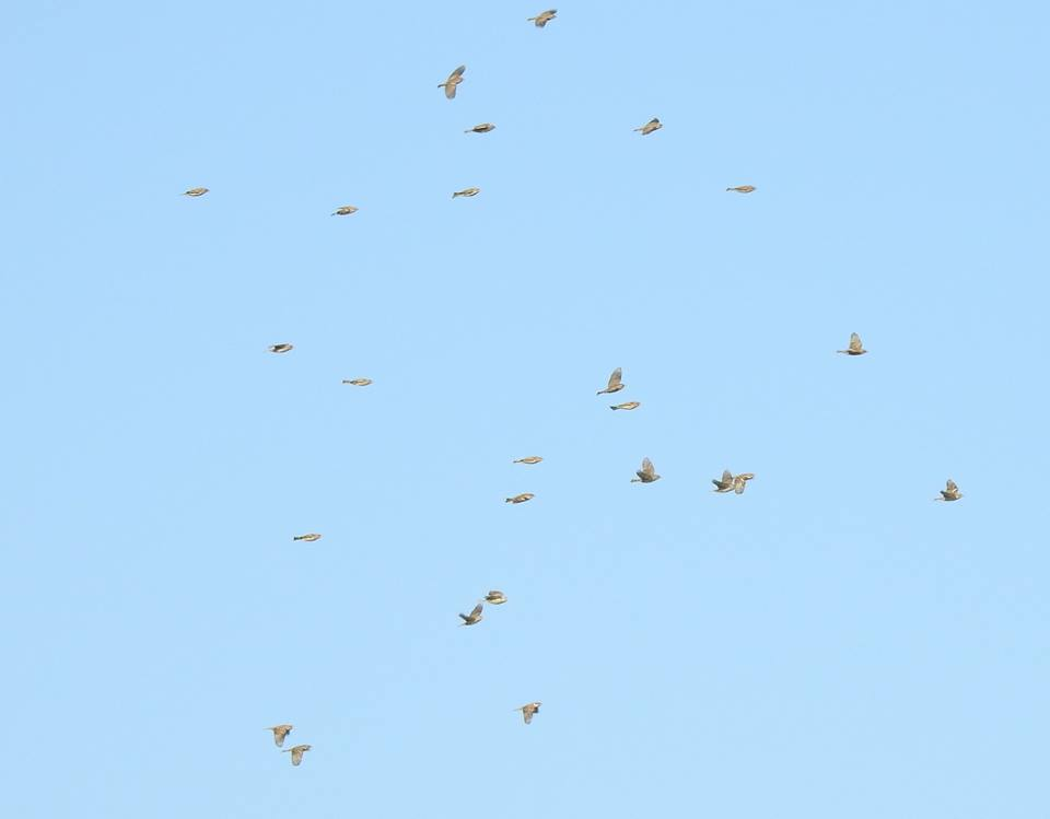Thousands of sparrows – chiefly House Sparrows (Passer domesticus) and some Spanish Sparrows (P. hispaniolensis) cross the Strait of the Gibraltar to winter in northern Africa (Alejandro Onrubia / Migres Fundation).