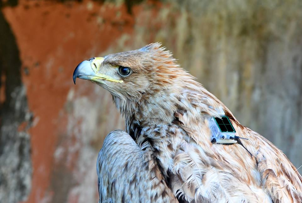 Spanish Imperial Eagle (Aquila adalberti), fitted with a GPS transmitter and ready to fly, Bouznika, Morocco, 17 Dec. 2018.