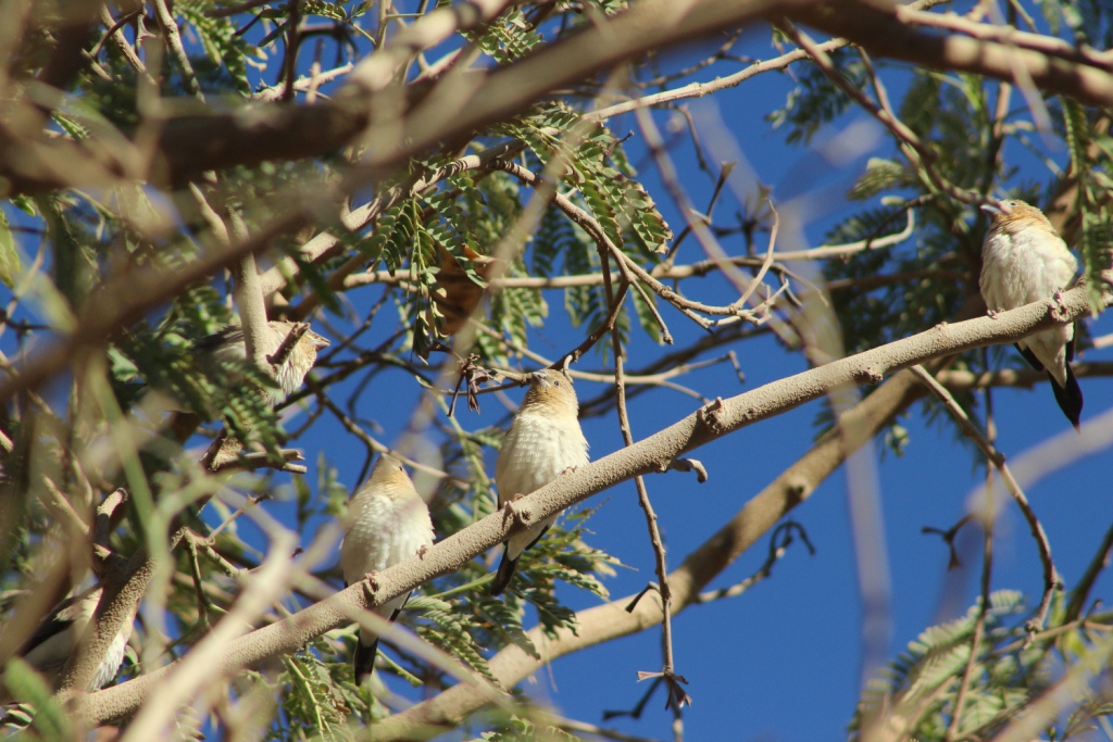 African Silverbills / Capucin bec-d'argent (Euodice cantans), Tamanrasset, southern Algeria, 15 Dec. 2018 (photo by KL).