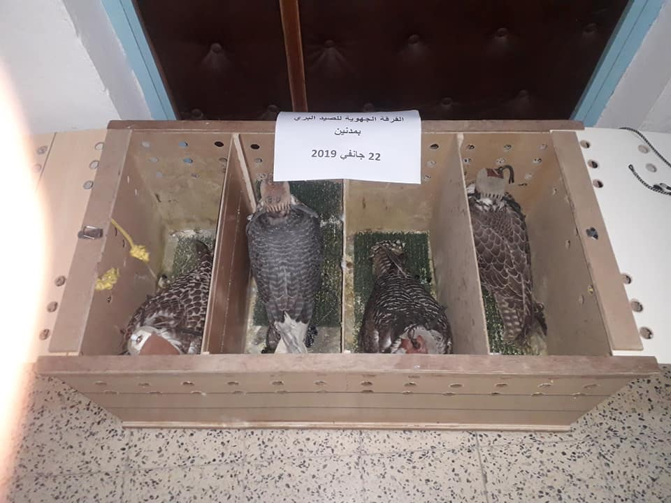 Falcons seized by Tunisian customs at Ben Guerdane, SE Tunisia, on 22 January 2019. Photo taken at the 'Regional Hunting Service at Medenine' (Mabrouk Raggad).