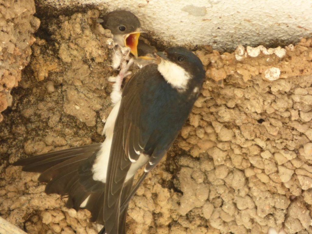 Adult Common House Martin (Delichon urbicum) feeding young, Hornachos, south-west Spain, January 2019 (AMUS).