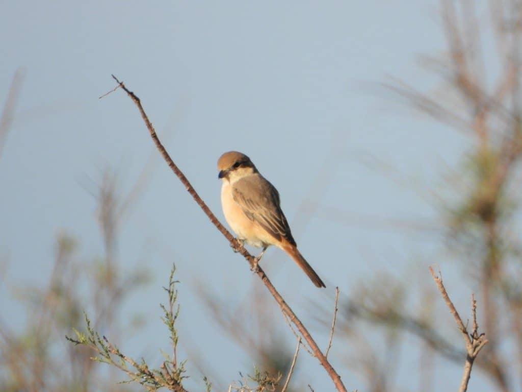 Isabelline Shrike / Pie-grièche isabelle (Lanius isabellinus), Tamri estuary, southern Morocco, 2 Jan. 2019 (Paul van der Poel).