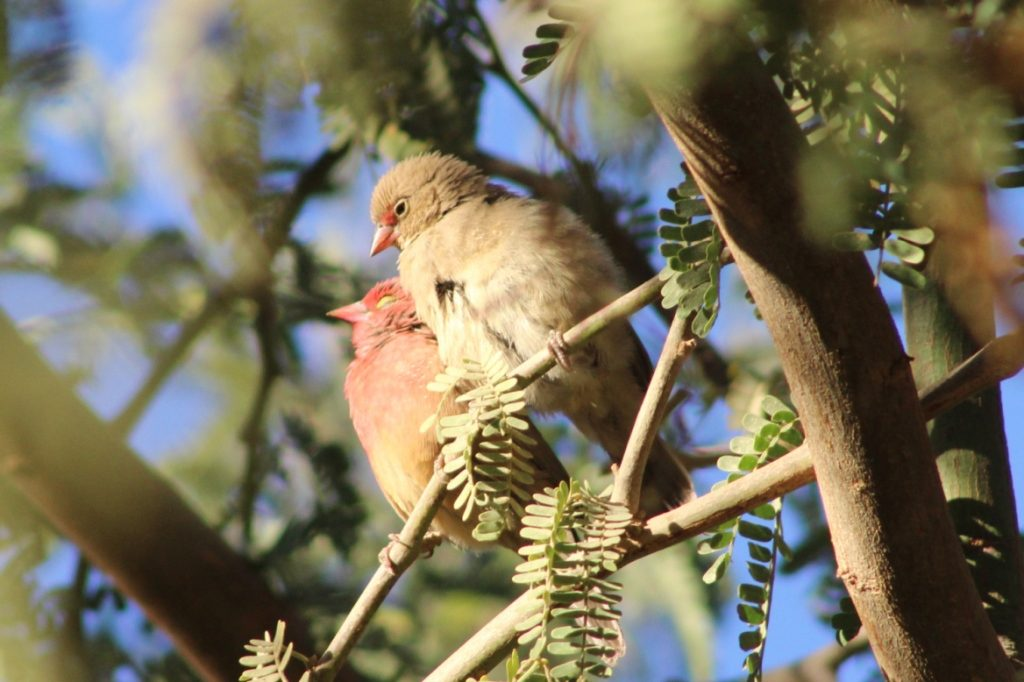 Red-billed Firefinches / Amarantes du Sénégal (Lagonosticta senegala), Tamanrasset, Algeria, 15 Dec. 2018 (photo by KL).