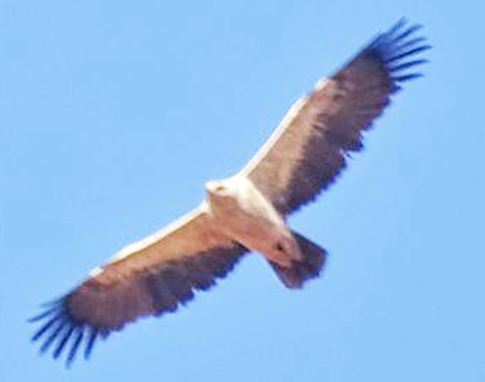 Tawny Eagle / Aigle ravisseur (Aquila rapax), north-west Algeria (Mayssara El Bouhissi)