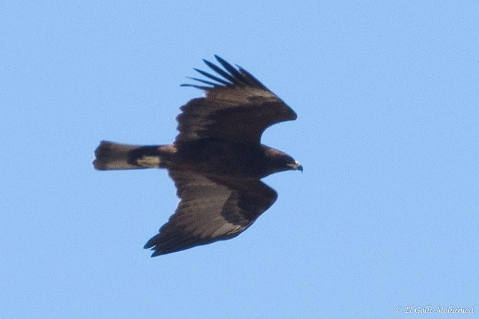 Wahlberg's Eagle / Aigle de Wahlberg (Hieraaetus wahlbergi), El Haouaria, northern Tunisia, 23 April 2018 (Mohamed El Golli).