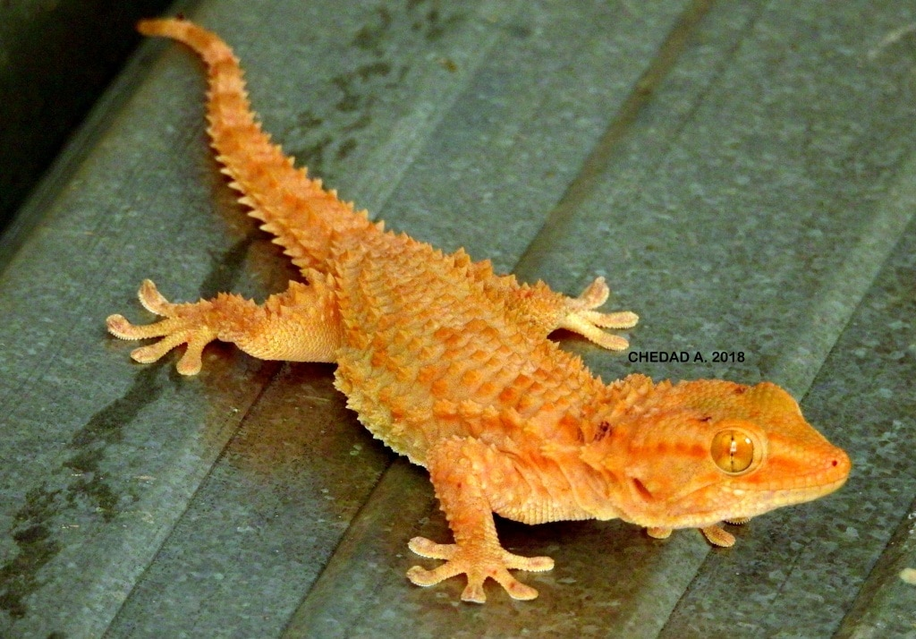 Common wall gecko (Tarentola mauritanica), Ghardaïa Province, Algeria (Abdelwahab Chedad).
