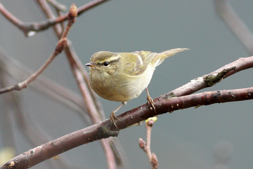 Hume's Leaf Warbler (Phylloscopus humei), Taibai Shan, Central China (Ron Knigh)