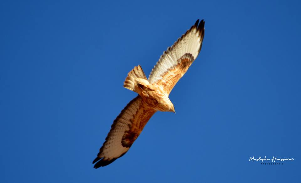 North African Buzzard / Buse du Maghreb (Buteo buteo cirtensis), Tinejdad, Morocco (Mustapha Houssaini‎)