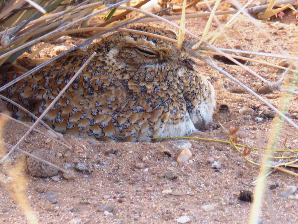 Golden Nightjar / Engoulevent doré (Caprimulgus eximius) protecting its two young, Aousserd, Western Sahara, southern Morocco, 18 March 2019.