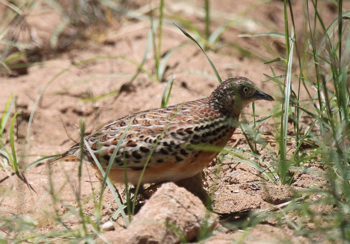 Andalusian Buttonquail / Turnix d'Andalousie (Turnix sylvaticus sylvaticus): an adult female at Sidi Abed, Morocco, 12 June 2010 (Carlos Gutiérrez-Expósito)