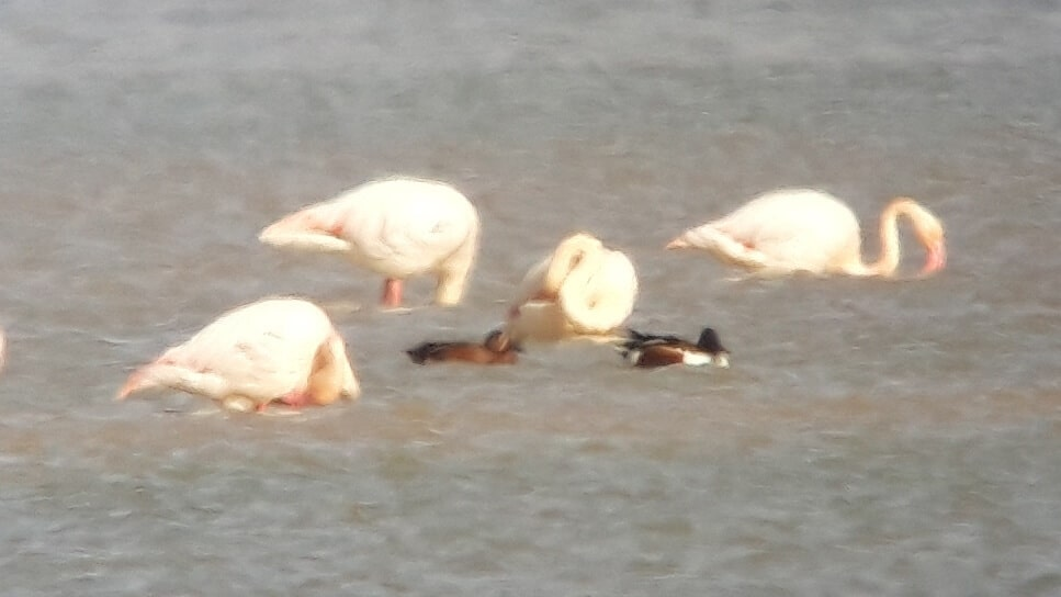 Presumed 'Cinnamon Teal x Northern Shoveler hybrid', Merzouga Lake, Morocco, 3 March 2019 (Frieder Klöpfer and Laura Lüdtke).