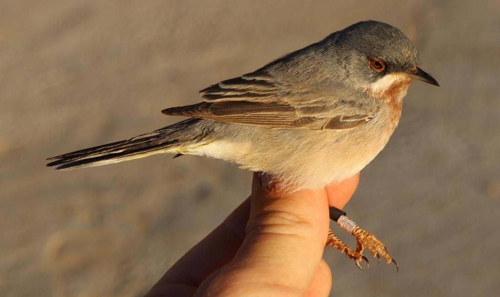 Eastern Subalpine Warbler (Sylvia cantillans albistriata), Merzouga, Morocco (Marc Illa)
