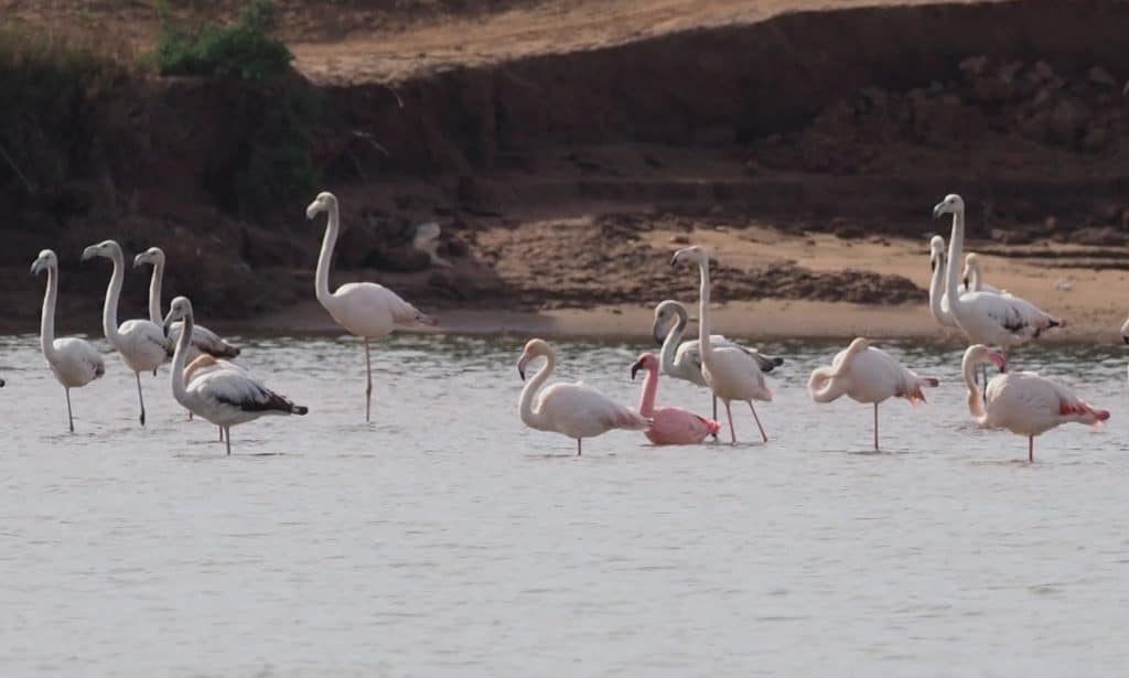 Lesser Flamingo / Flamant nain (Phoeniconaias minor), estuary of Oued Souss, Morocco, 1 Jan. 2019 (S. Werner).