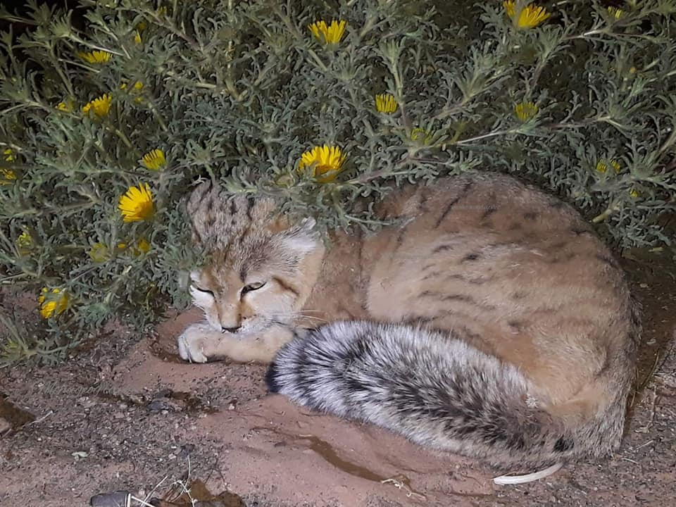 Sand cat / chat des sables (Felis margarita margarita), Merzouga, Morocco, 23 Feb. 2019 (photo by MT).