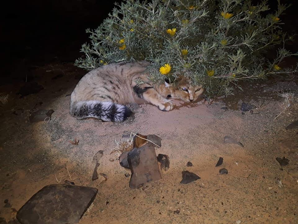 Sand cat / chat des sables (Felis margarita margarita), Merzouga, Morocco, 23 Feb. 2019