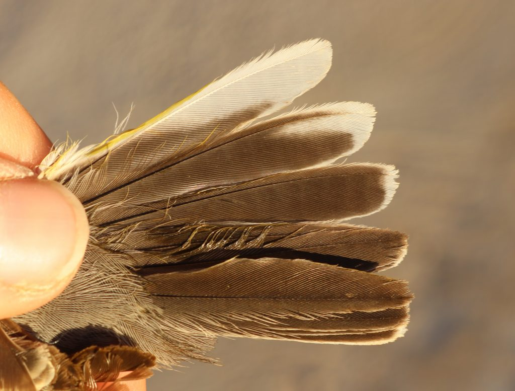 "Characteristic tail pattern of the Eastern Subalpine Warbler: ""long, narrow whitish wedge on inner web of tail feather T5 – numbered from the centre). The tail pattern of the Western Subalpine Warbler (Sylvia inornata inornata and iberiae) is different: ""the white tip of the tail feather T5 is small and square""."