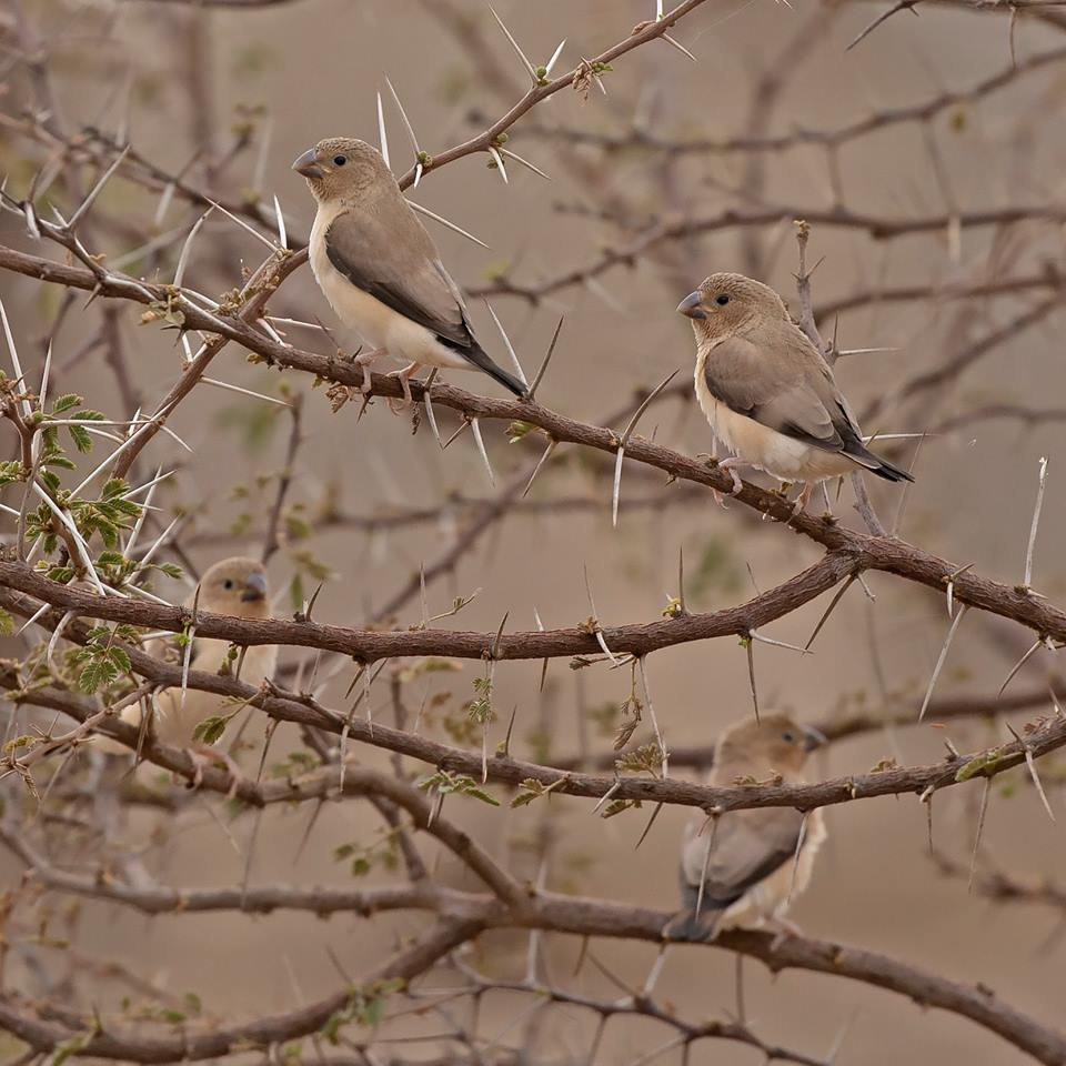 African Silverbills (Euodice cantans), Oued Tamanrasset, southern Algeria (Sam Viles).