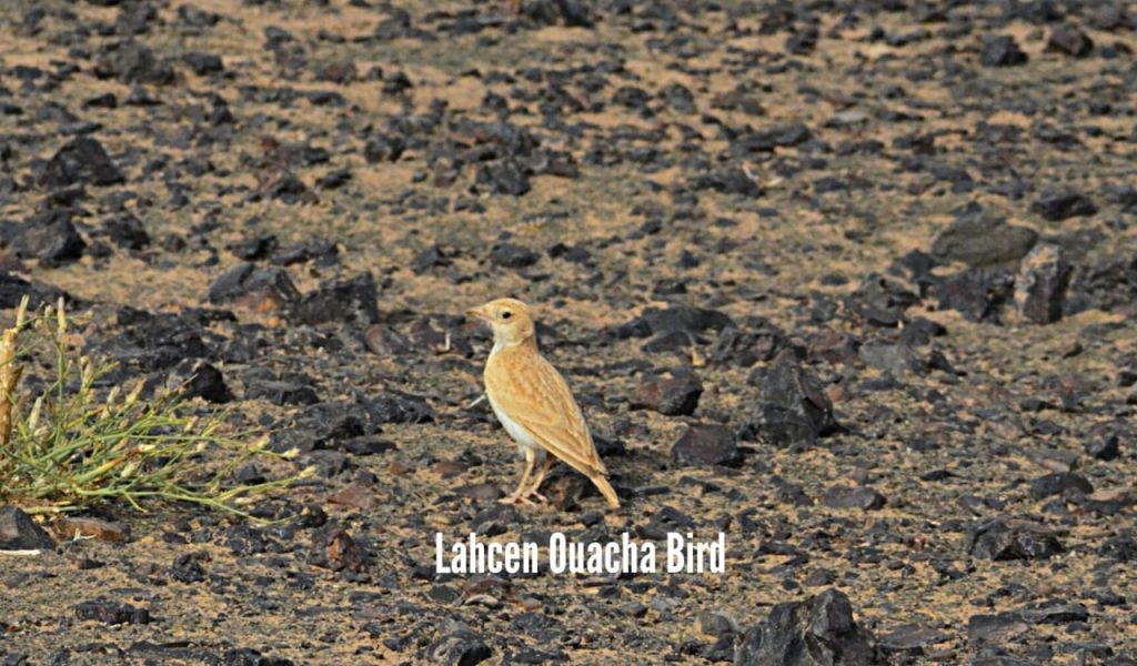 African Dunn's Lark (Eremalauda dunni), Merzouga, Morocco, 2 April 2019 (Lahcen Ouacha)