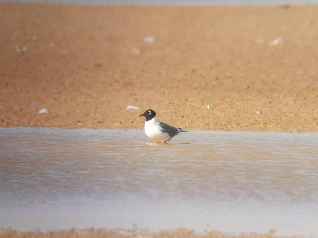Franklin's Gull (Leucophaeus pipixcan), Merzouga Lake, Morocco, 8 April 2019 (Marc Illa).