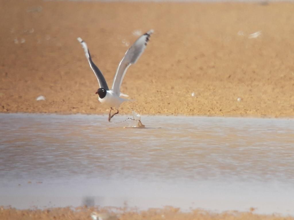 Franklin's Gull (Leucophaeus pipixcan), Merzouga Lake, Morocco, 8 April 2019 (Marc Illa).