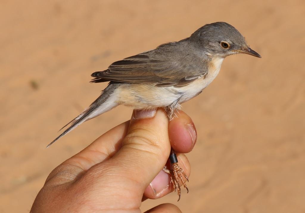 Moltoni's Warbler (Sylvia subalpina), Merzouga, Morocco, 18 Apr. 2019 (Marc Illa).