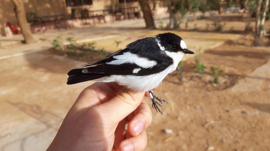 Presumed hybrid Collared X Pied Flycatcher (Ficedula albicollis X F. hypoleuca), Merzouga, Morocco, 10 April 2019 (Marc Illa).