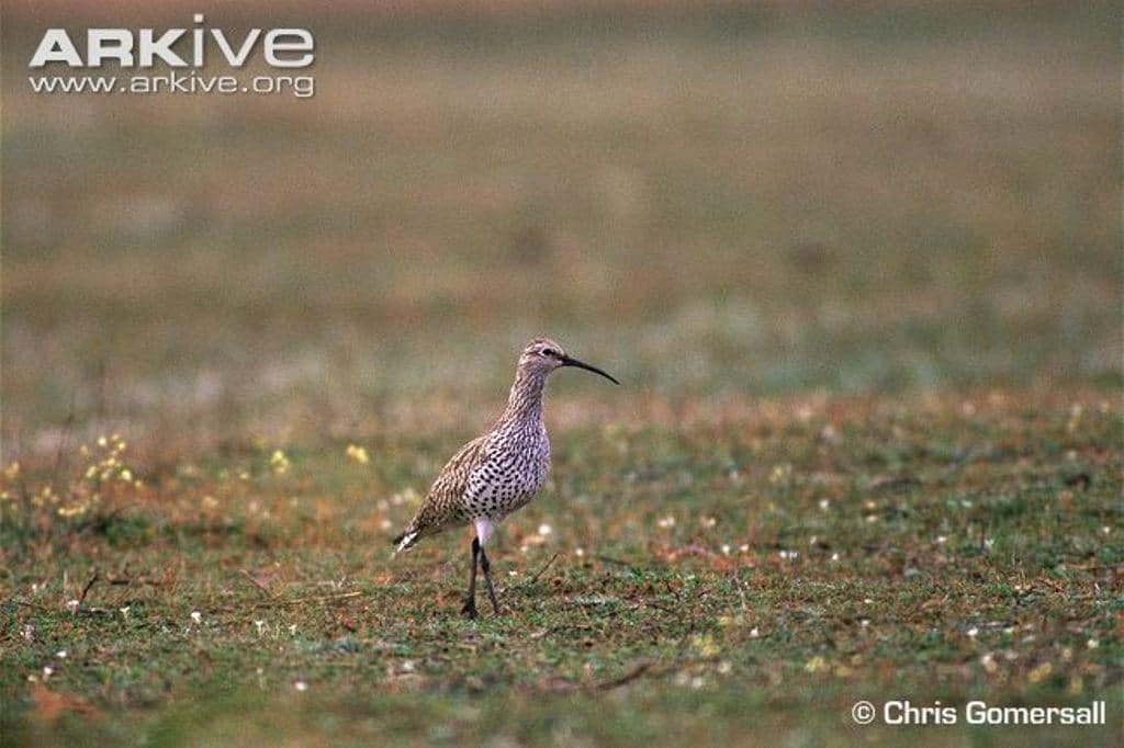 Slender-billed Curlew (Numenius tenuirostris), Merja Zerga, Morocco, winter 1995 (Chris Gomersall)