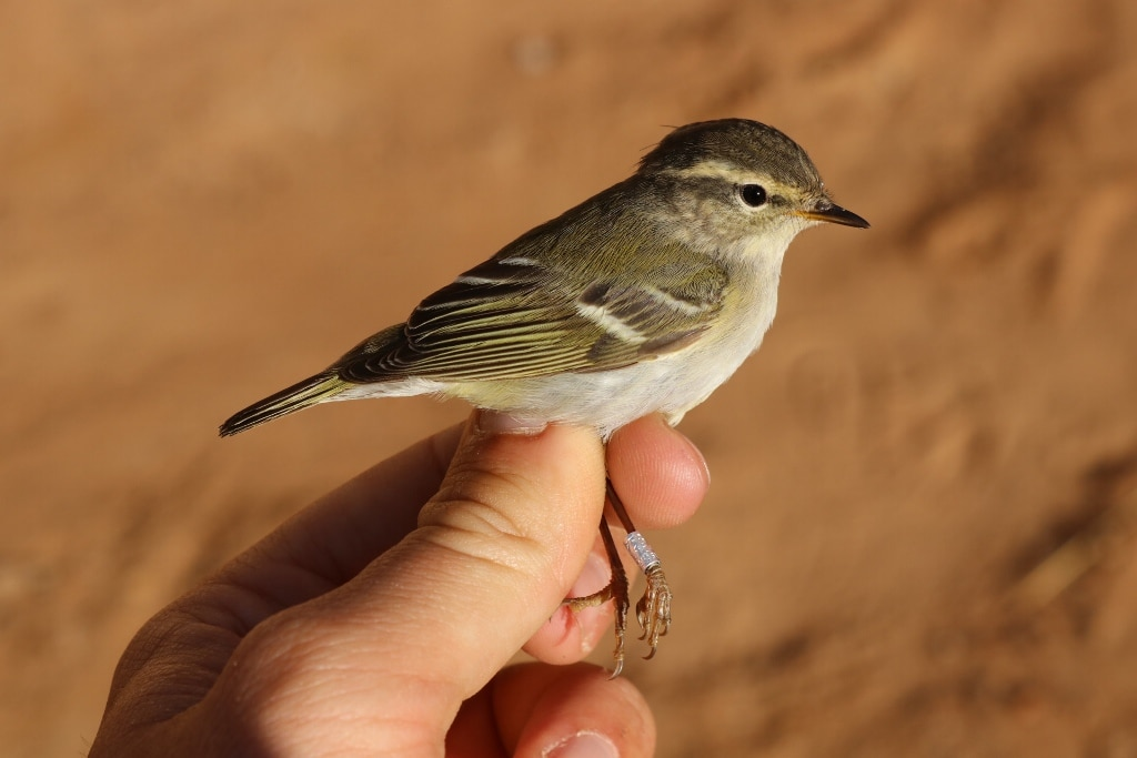 Yellow-browed Warbler / Pouillot à grands sourcils (Phylloscopus inornatus), Merzouga, Morocco, 13 April 2019 (Marc Illa).