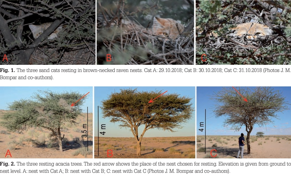 The three sand cats resting in Brown-necked Raven nests, and the three resting acacia trees ((J. M. Bompar and co-authors)