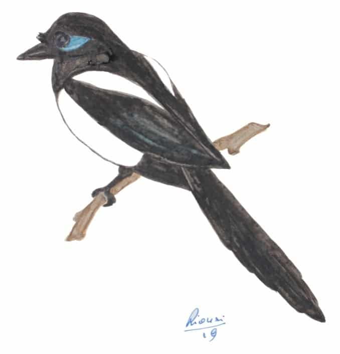 Drawing of Maghreb Magpie (Pica mauritanica) by Ridha Ouni