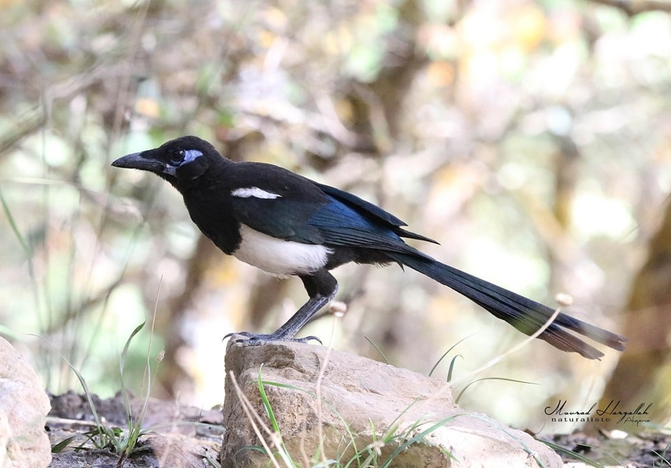 Maghreb Magpie / Pie du Maghreb (Pica mauritanica), north-east Algeria (Mourad Harzallah)