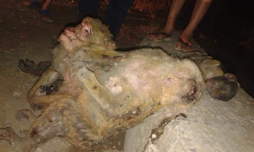 Barbary macaques perished in Kabylie wildfires (northern Algeria)