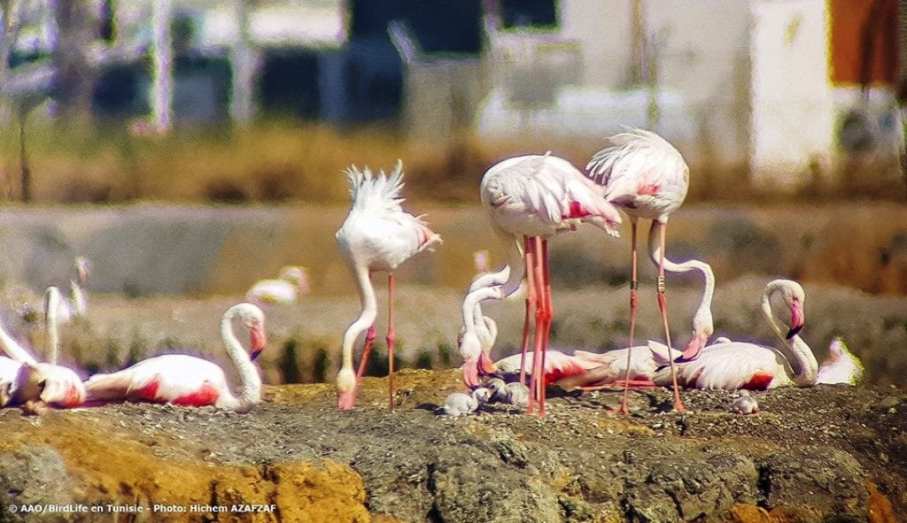 Reading of colour-rings showed that the breeders were born in Flamingo colonies in Algeria, Italy, France and Spain (Hichem Azafzaf / Association « Les Amis des Oiseaux » (AAO/BirdLife in Tunisia)