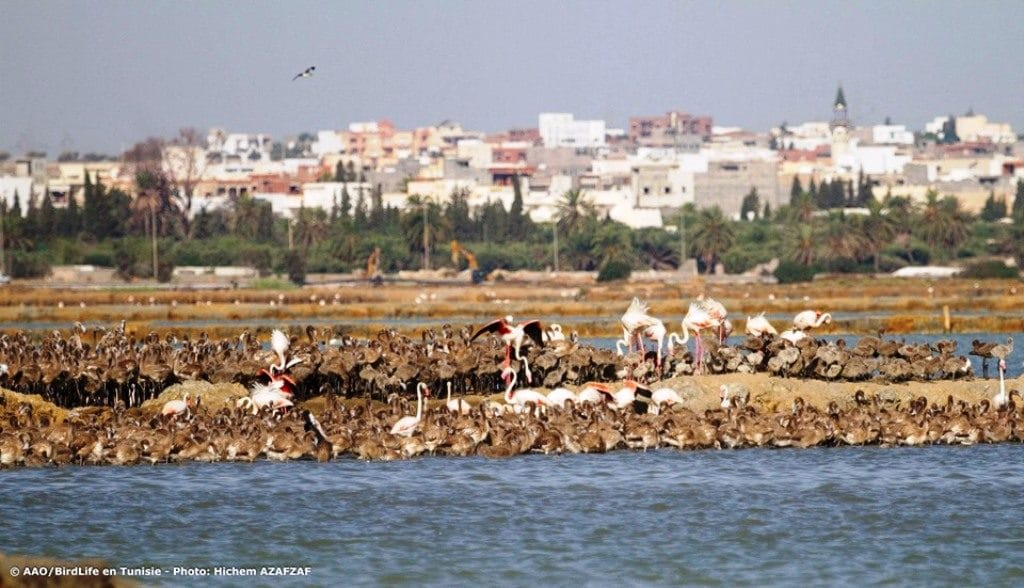 Greater Flamingo breeding colony at Sahline saltpans, near Monastir, Tunisia, July 2019 (Hichem Azafzaf / Association « Les Amis des Oiseaux » (AAO/BirdLife in Tunisia)