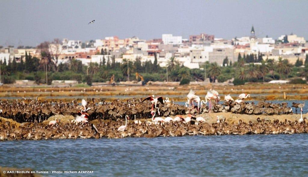 Greater Flamingo breeding colony at Sahline saltpans, near Monastir, Tunisia, July 2019 (Hichem Azafzaf / Association « Les Amis des Oiseaux » (AAO/BirdLife in Tunisia)