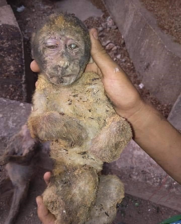 Young Barbary macaque perished in Kabylie wildfires (northern Algeria)